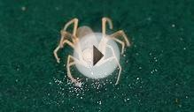 10 Cool Facts about Camel Spiders (Solifugids)