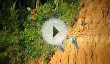 Macaws at clay lick at Tambopata Research Center, Peru