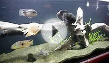 south-central american cichlid tank